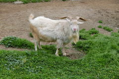 A goat looking at camera Royalty Free Stock Photos