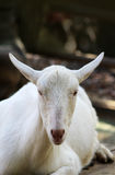 Goat looking at camera with space for copy Stock Image