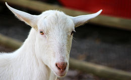 Goat looking at camera with space for copy Stock Photography