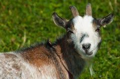 Goat looking closeup Royalty Free Stock Photos
