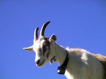 Goat looking curiously Royalty Free Stock Images