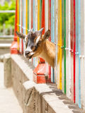 Goat looking through a fence Stock Photography