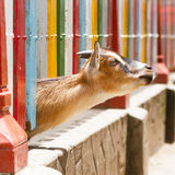 Goat looking through a fence Royalty Free Stock Photos