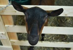 Goat looking through a gate at the county fair. Goat on display for showing at the Walworth County Fair in Elkhorn, WI stock image