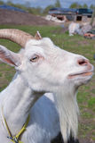 Goat. Is looking interestingly on somebody Stock Photography