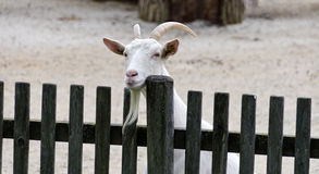 Goat looking over a fence Royalty Free Stock Photos