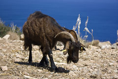 Goat looking at sea in Rhodes Stock Photos