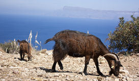 Goat looking at sea in Rhodes Stock Photography