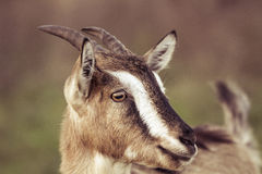 Goat... Royalty Free Stock Photography