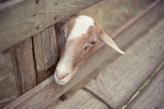 Goat looking at something Royalty Free Stock Photos