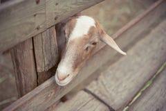 Goat looking at something Royalty Free Stock Photos