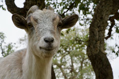 Goat looking to you Stock Image