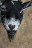 Goat looking up. Close up of a black and white goat's face looking up stock image