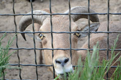 Goat looking through zoo bars. Wire fence. Royalty Free Stock Photo