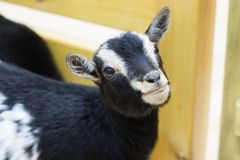 Goat looks and ask food in the zoo. Goat looks and ask food in the contact zoo Stock Images