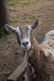 Goat looks curiously at the camera Stock Photo
