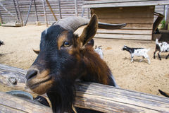 The goat looks. Out of the fence, very funny Royalty Free Stock Photography