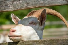 The goat looks Royalty Free Stock Photo