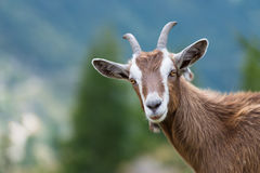 A goat looks at us. In the mountain stock images