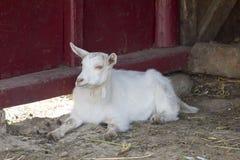 Goat lying. Kid goat portrait, on a romanian farm Royalty Free Stock Photos