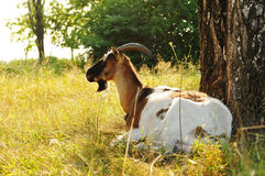 Goat lying portrait Royalty Free Stock Images