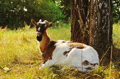 Goat lying portrait Stock Images