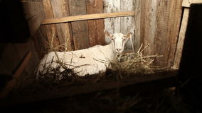 Goat lying in the stable on hay stock video footage