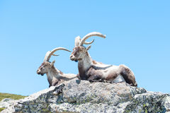 Goat lying on the stone of the Gredos mountain. Two mountain goats lie down on the rock resting under blue sky Royalty Free Stock Images