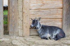 Goat lying on a wooden sty Stock Photos