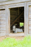 Goat lying in a wooden sty Stock Photography
