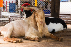 Goat lying in zoo Stock Images
