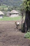 Goat in Maasi Village, Ngorongoro Conservationa Area, Tanzania Royalty Free Stock Photo