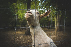 Goat making weird faces Stock Photo