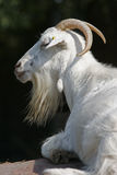 Goat male Royalty Free Stock Photography