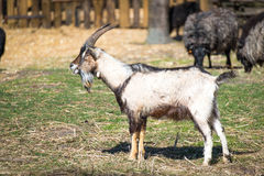 The goat male Royalty Free Stock Photography