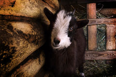 Goat in the manger. Goat on the hay in a wooden pen Royalty Free Stock Images