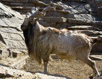 Goat markhor Royalty Free Stock Photo