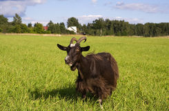 Goat in a meadow. Goat eats grass in a meadow Stock Images
