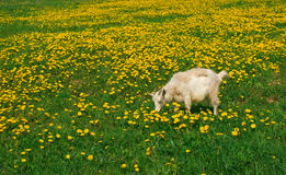Goat on a meadow. Goat on a yellow meadow Royalty Free Stock Images
