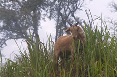 Goat on the meadow. Royalty Free Stock Image