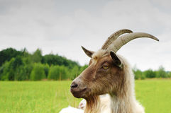 Goat in a meadow stock image