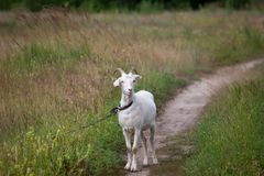 Goat on meadow Stock Photography