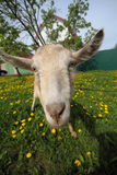 Goat on meadow Stock Images