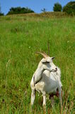Goat on a meadow. In Slovakia Royalty Free Stock Images