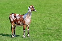 Goat in the meadow Royalty Free Stock Images