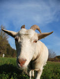 Goat on the meadow Stock Photos