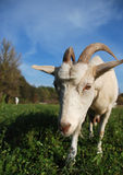 Goat on the meadow Royalty Free Stock Photography