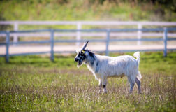 Goat in a meadow Stock Photos