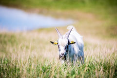 Goat in a meadow Stock Photography