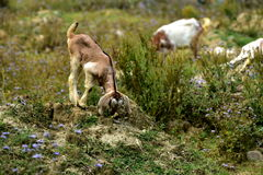 Goat on the meadow background Stock Image